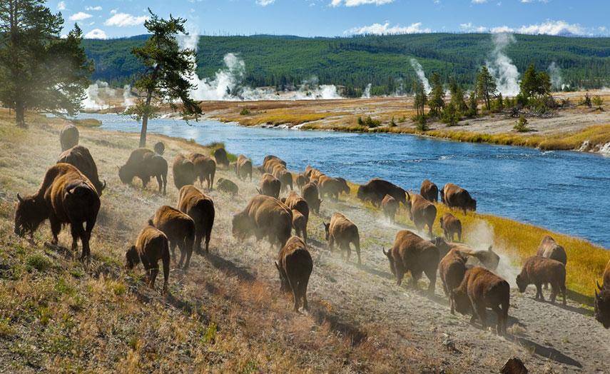 Bison Herde Yellowstone Nationalpark