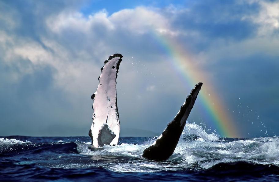Wale Watching Hawaii